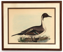 ROBERT MITFORD COMMON PINTAIL HAND COLORED LITHO